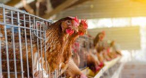 Hukum Akad Merawat Ayam Perusahaan
